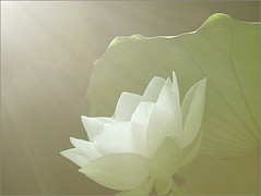 Lotus Flower - DSCN8093 (Bahman Farzad) Tags: inspiration flower macro truth peace lotus calming peaceful teacher therapy elegant inspirational spiritual simple soulful heavenly tatto peacefulness devine lotusflower therapist lotuspetal lotuspetals soulfulflower lotusflowerpetals lotusflowerpetal