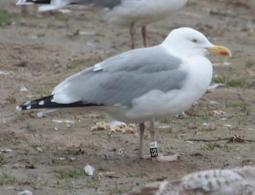 Larus argentatus - Herring Gull