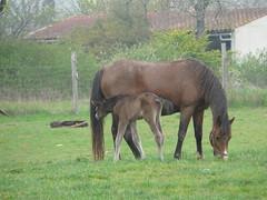 Nouvelle naissance (elevage le courtal) Tags: horse cheval bebe naissance poulain poney