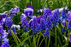 Blue Flowers (Roy Shaw) Tags: flowers blue landscape pretty background upclose