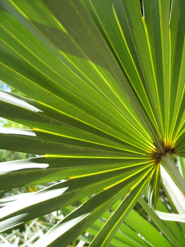 Silver saw palmetto by Gardening in a Minute