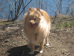IMG_0409 (kelaltieri) Tags: bear dog puppy cream pomeranian ramaporeservation