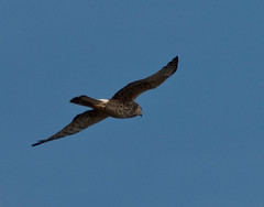 San Bernard NWR 8 - Northern Harrier