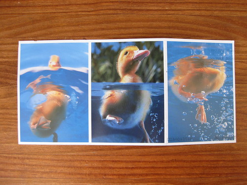 Duck folding postcard, open front