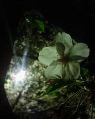【アドエスphoto】松阪城の桜はかJ$j;6$C$F$^$7$?