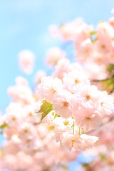 pink cotton candy (bananagranola (busy)) Tags: pink japan japanese spring kyoto bloom sakura cherryblossoms jinja