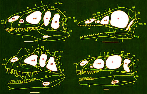 theropod_skulls