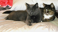 Missy and Soxie (PJSherris) Tags: cats cat grey feline tiger daughter mother olympus together cuddle curled gatto olympusc4040z c4040z