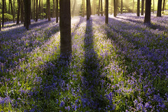 Micheldever wood (antonyspencer) Tags: wood uk travel trees sun bluebells contrast zeiss landscape spring shadows forestry 14 spencer 50 antony commission beech forset micheldever hampshir 5dmkii