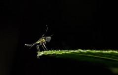 Zuckmcke mit erhobenem Bein (Veit Schagow) Tags: klein bein insekt mcke diptera winzig fhler muecke zweiflgler zuckmcke