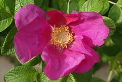 Wild Rose (osto) Tags: plant flower nature rose denmark europa europe sony zealand dslr scandinavia danmark a300 sjlland  nrum osto rudersdal may2009 alpha300 osto