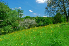 Simply bucolic (Vainsang) Tags: flower nature fleur field grass landscape countryside spring nikon buttercup country prairie paysage campagne printemps champ herbe boutondor d40x