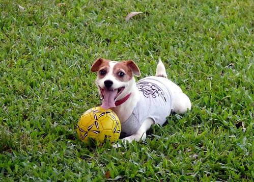 Jack Russel Terrier by phatfreemiguel
