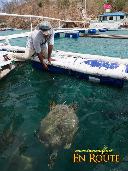 Grace Island Resident Turtle