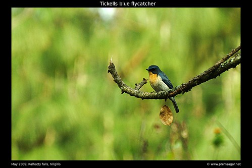 Tickells blue flycatcher 3