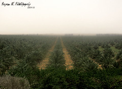 Paradise (Rayan M.) Tags: ranch tree green project landscape photography farm culture kingdom palm m plantation saudi arabia arabian agriculture gigantic dates biggest  largest   intheworld salih   rayan          guinessworldrecord       alrajhi alqassim  ecocert