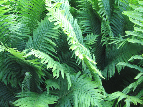 shield fern (dryopteris)