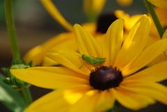 062709_5402 (subwife87) Tags: grasshopper blackeyedsusan norfolkbotanicalgardensbotanicalgardensnorfolkvaflowers