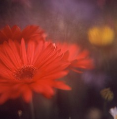 Gerbera (satoshi  denuclearization) Tags: flower searchthebest distillery aasia visualart creativeimagery anawesomeshot flickraward theunforgettablepictures theunforgettablepicture newacademy theperfectphotographer goldstaraward flickrestrellas excellentsflowers worldtrekker natureselegantshots awesomeblossoms artistictreasurechest updatecollection platinumpeaceaward coppercloudsilvernsun fleursetpaysages flickrsportal natureallovertheworld persephonesgarden ofpetalsandflowersgroup agorathefineartgallery