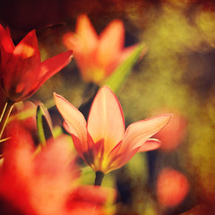 Red (~ Maria ~) Tags: flowers red texture spring tulips bokeh sunny spring2010