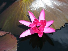 Waterlily in Pink (Stanley Zimny (Thank You for 18 Million views)) Tags: park pink flowers red macro nature colors garden botanical flora waterlily lily seasons longwood digitalcameraclub