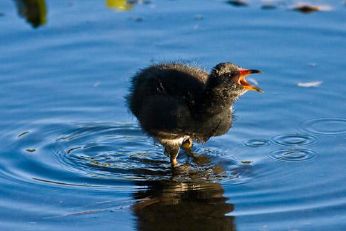 Dusky Moorhen chick