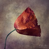 For a Weary Mind (fesign) Tags: red flower art scarlet poppy opium specialpicture infinestyle magicunicornverybest magicunicornmasterpiece outstandingromanianphotographers
