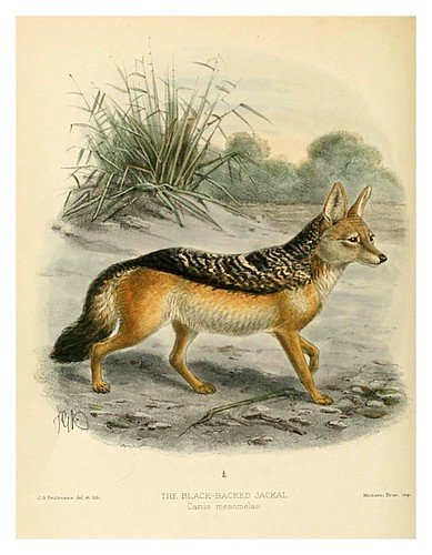 001-Chacal de espalda negra-Dogs jackals wolves and foxes…1890- J.G. Kulemans