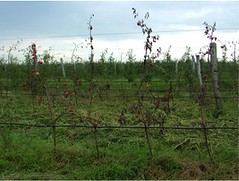 Severe flooding during fruit growth and development results in premature fruit ripening and subsequent tree death. (Pinova on M.9) Photo by Jozef Racsko.
