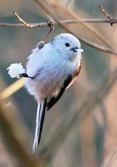 Long-tailed Tit (skatepunk) Tags: bird nature animal longtailedtit canoneos400d anawesomeshot