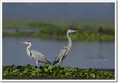 Grey Heron (Ardea cinerea) (Z.Faisal) Tags: bird heron nature grey nikon beak feathers aves ardea bok ardeacinerea nikkor bangladesh avian bipedal bangla faisal feni desh d300 zamir greyheron cinerea khaira pakhi daing endothermic alart nikkor300mmf4 muhuri zamiruddin zamiruddinfaisal zfaisal muhuriproject muhuridam dhupnibok dhupni khairabok pidalibok daingbok pidali