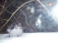 hare_snow (Nelley) Tags: winter snow rabbit bunny nature snowshoe backyard hare