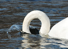 """Plunge"" -Trumpeter Swan (andysj531) Tags: bird river swan arbor ann loch huron ness birdwatcher trumpeter cygnus buccinator avianexcellence"