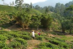 Ceylon Tea Fields (JING Tea) Tags: tea srilanka ceylon teapicking teapickers ceylontea