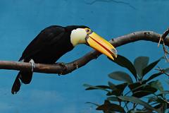 Blijdorp (Eisbeertje) Tags: animal animals zoo rotterdam blijdorp nikon nederland 70300mm dieren dier tier dierentuin toekan tieren d40x 08012009