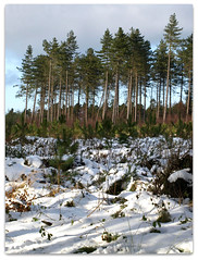 Snowy forest (ExeDave) Tags: wood uk winter england snow forest woodland landscape afternoon forestry devon crop plantation gb 2009 conifers conifer febraury haldon mamhead forestrycommission haldonforest teignbridge haldonhills greathaldonforest haldonforestpark coniferplantation mamheadwoods greathaldon manheadforest