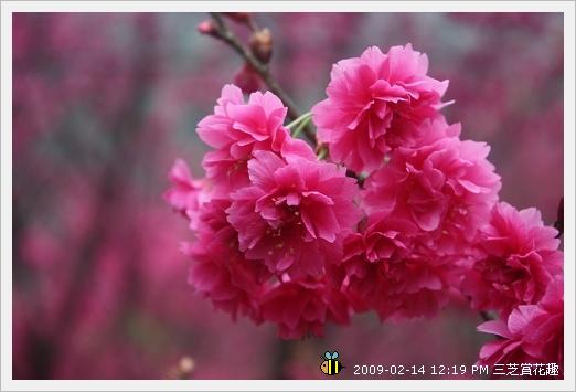 20090214三芝賞花趣 (10)
