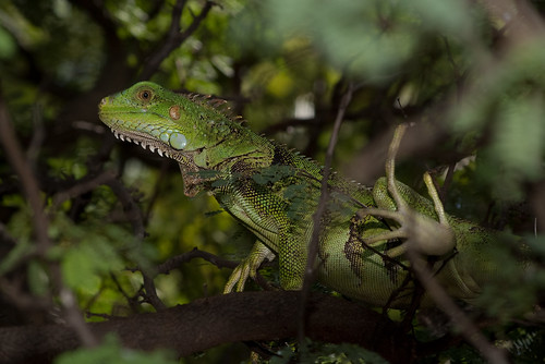Iguana in the tree