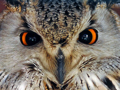 Bengal or Indian Eagle Owl (Steve Wilson - over 2 million views thank you) Tags: bird eye closeup asian eyes nikon asia indian beak raptor owl d200 predator bengaleagleowl bengal birdofprey hornedowl horned eagleowl nikond200 bubobengalensis indianeagleowl rockeagleowl