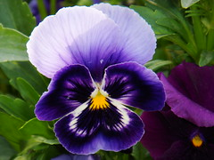 Spring Greeting (Parvin ( OFF for a while )) Tags: flower spring flora colorful purple violet greetings pansies viola 4seasons naturesfinest flickrdiamond