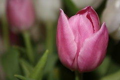 Pink flower (Gondolin Girl) Tags: pink plants flower home nature closeup tulip