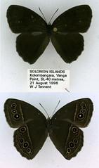 Mycalesis perseus