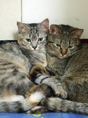 Kaka & Bebe (Chrischang) Tags: pet animal cat bebe kaka 貓