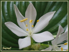 Closeup flower photo of Proiphys amboinensis (Cardwell Lily, Northern Christmas Lily) in our garden, April 16 2009