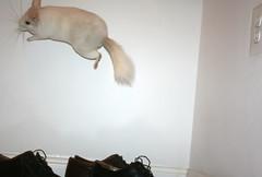Soaring Chinchilla (wisely-chosen) Tags: jumping chinchilla april lightning 2009 leaping hopping picnik bouncingoffthewalls popcorning adobephotoshopcs4 pinkwhitechinchilla