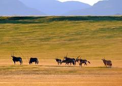 Orici (DPiero) Tags: namibia deserto orici veterinarifotografi duneverdi