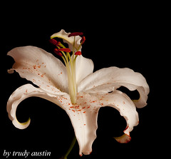lilly (trudy austin) Tags: flower stem natural petal stills masterphotos aplusphoto