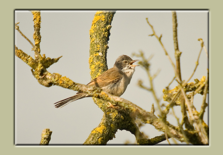 Whitethroat Saturday Evening