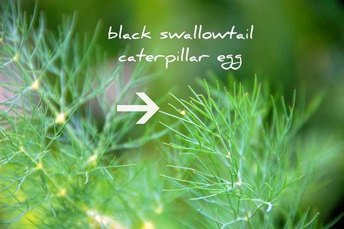 black swallowtail egg