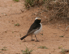 Red-rumped Wheatear (per.gustafsson) Tags: marocko